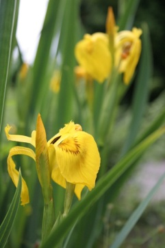 Yellow Flag: irises make a great display and in the autumn you can divide them and make more