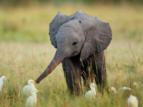 Elephant with birds