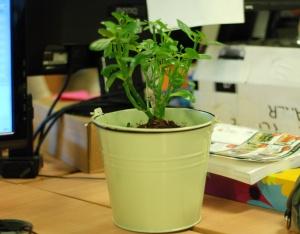 Kalanchoe blossfeldiana in a pot