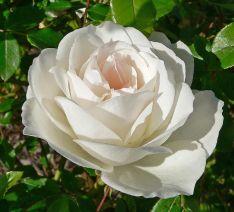 Rosa 'Iceberg' at the San Jose Heritage Rose Garden