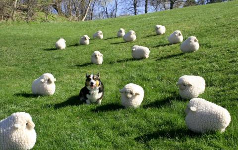 A dog amongst sheep