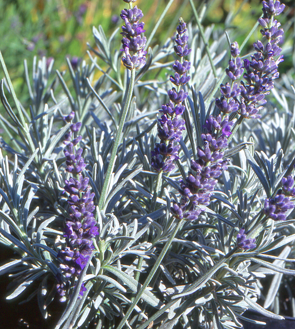 Lavender_Chaytoriae